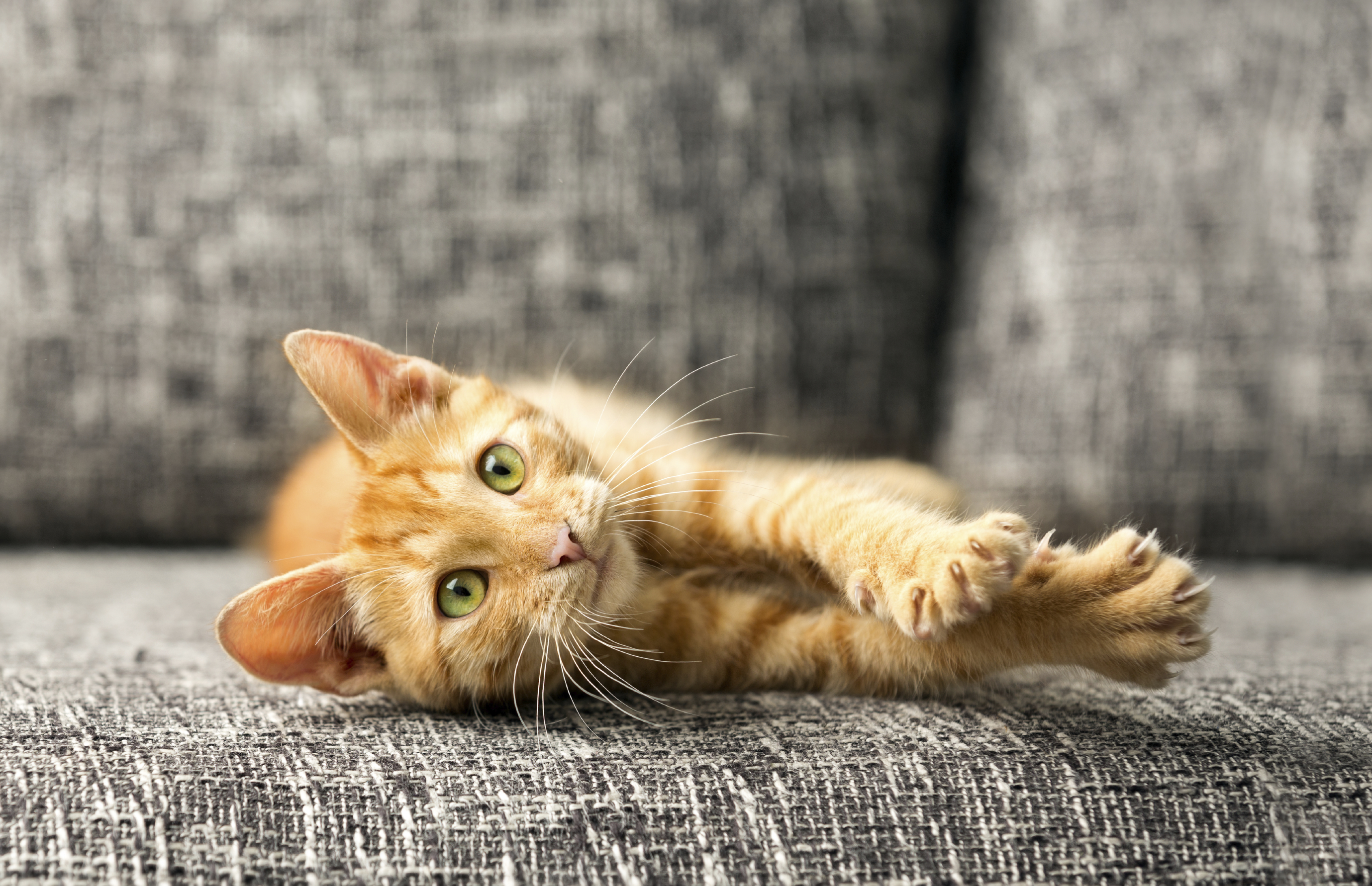 Pet Friendly Furniture Is Worthwhile Investment Cat Sofa
