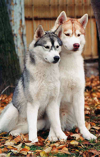 Best Dog Insurance >> Discover All You Need to Know About Siberian Huskies